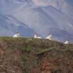 Dall sheep sitting on a ridge