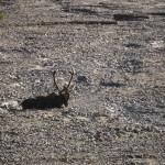 caribou in a riverbed
