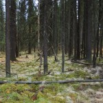 forest floor beneath the spruce