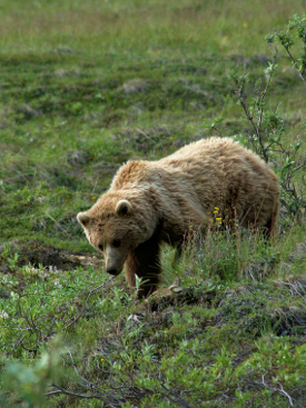 Grizzly along the Park Road in Denali National Park