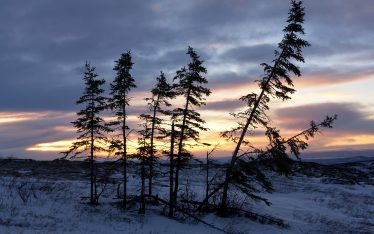 A stand of spruce trees on Murphy Dome at sunset.