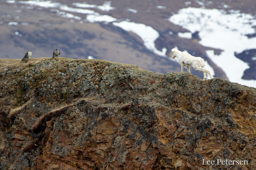 A young Dall Sheep stares down two Gyr Falcons that just disturbed his grazing at Polychrome Pass in Denali National Park & Preserve