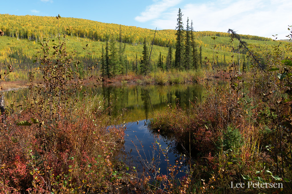 Spruce reflecting in another beaver pond along Rock Creek in the Chena River State Recreation Area - Granite Tors Trail